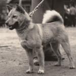 Shiba samiec ok 1930 Japonia