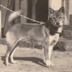Shiba suczka ok 1930 Japonia