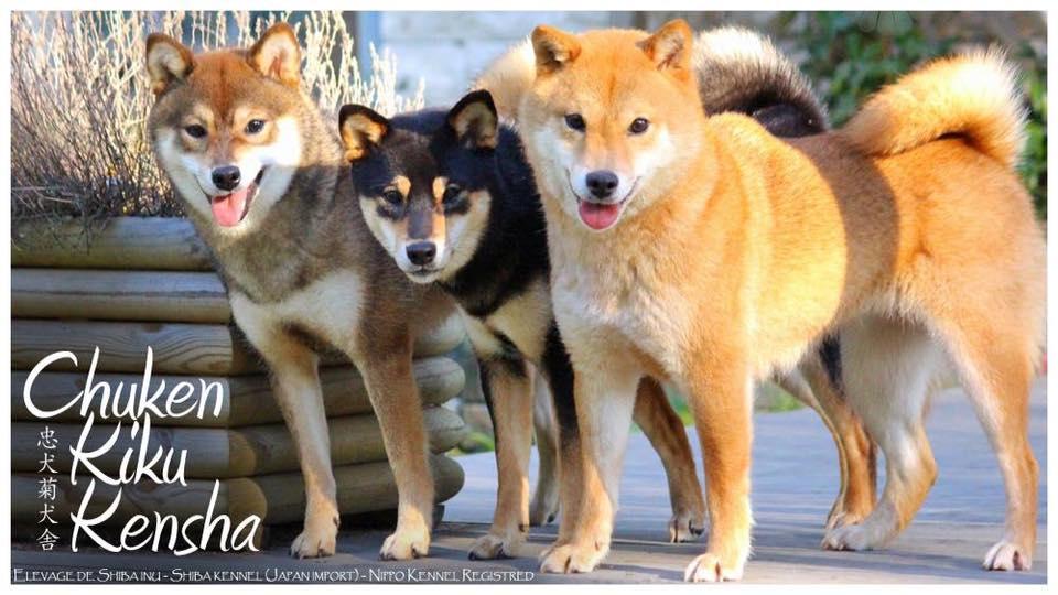 Sezam, Black&Tan, Red Shiba Inu - Kiko - Mabuki - Kayo :-)