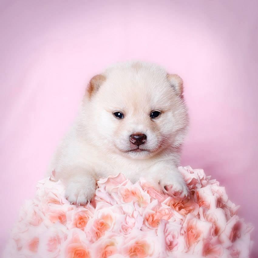 Shiba Inu Puppy white/cream, photo Jola Łachacz